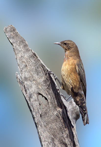Black-tailed Treecreeper - Climacteris melanura (f) (Mica Creek, Mt Isa, Qld)