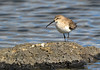 Curlew Sandpiper - Calidris ferruginea (Western Treatment Plant, Vic)