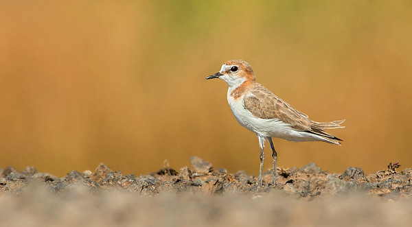 Red-capped Plover - Charadrius ruficapillus (Western Treatment Plant, Vic)