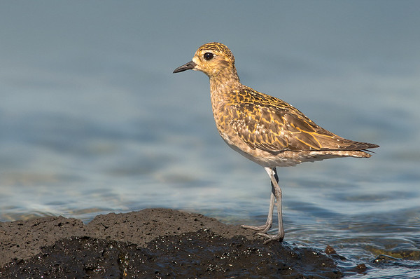 Pacific Golden Plover - Pluvialis fulva (Western Treatment Plant, Vic)