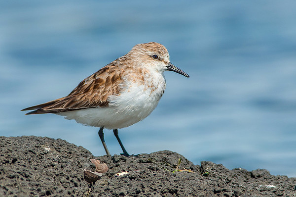 Red-necked Stint - Callidris ruficollis (Western Treatment Plant, Vic)