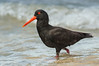 Sooty Oystercatcher - Haematopus fuliginosus (Walkerville South, Vic)