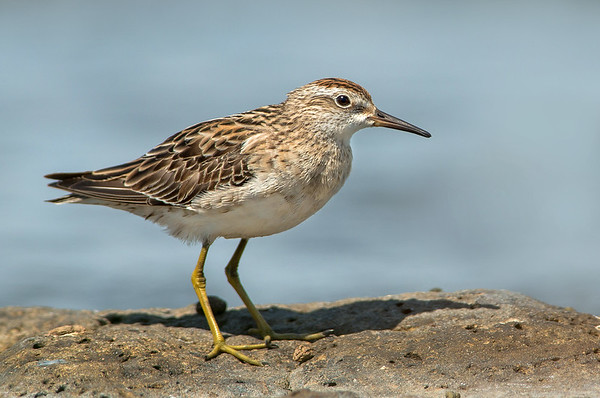 Sharp-tailed Sandpiper - Calidris acuminata (Western Treatment Plant, Vic)
