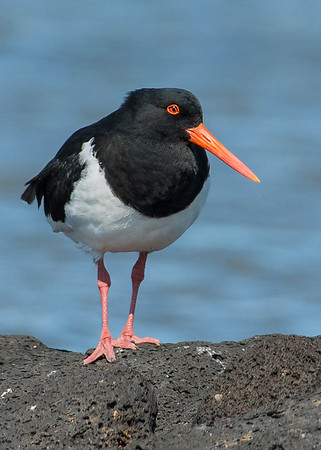 Pied Oystercatcher - Haematopus longirostris (Western Treatment Plant, Vic)