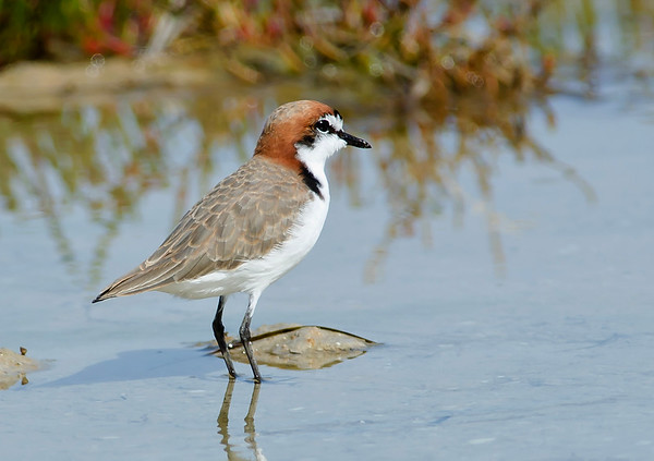 Red-capped Plover - Charadrius ruficapillus (Port Gawler, SA)