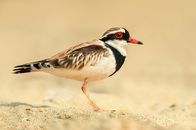 Black-fronted Dotterel - Elseyornis melanops (Cairns, Qld)