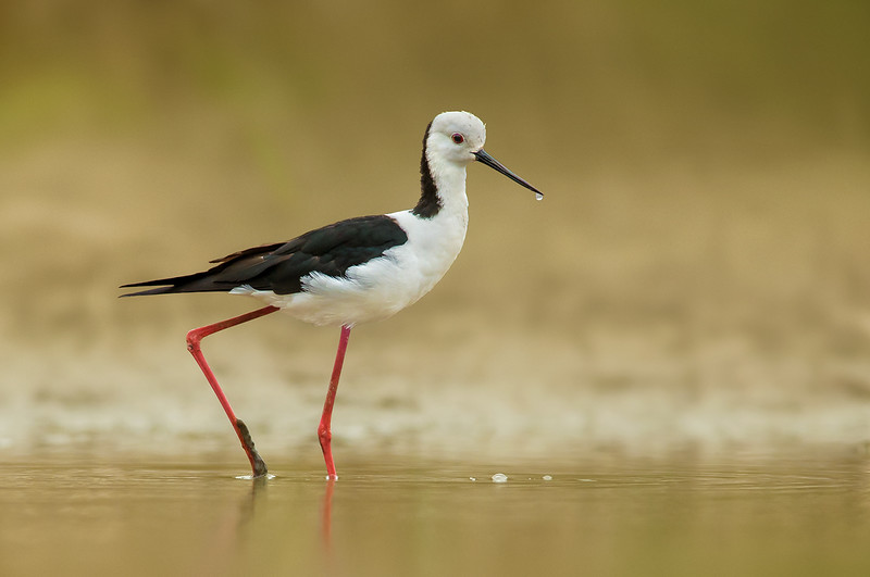 White-headed Stilt - Himantopus leucocephalus (Mill Park Lakes, Vic)
