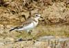 Double-banded Plover - Charadrius bicinctus (Port Gawler, SA)