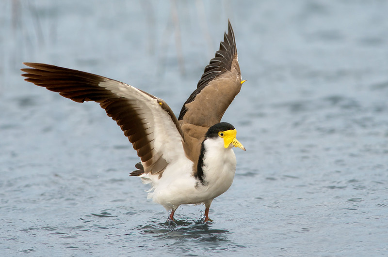 Masked Lapwing - Vanellus miles (Western Treatment Plant, Vic)