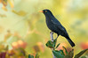 Common Blackbird - Turdus merula (Surrey Hills, Vic)