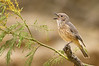Rufous Whistler - Pachycephala rufiventris (f) (You Yangs Regional Park, Vic)