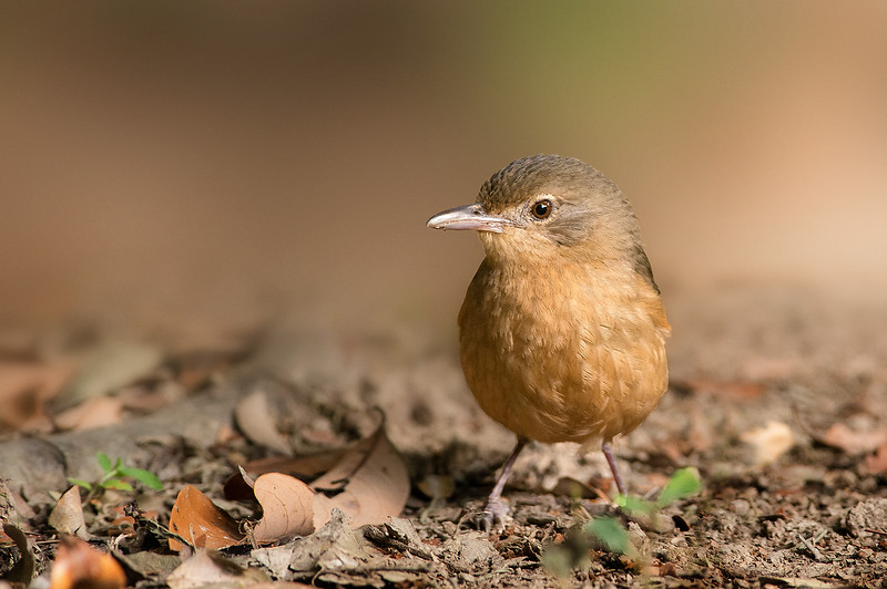 Little Shrike-thrush - Colluricincla megarhyncha (Julatten, Qld)