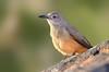Sandstone Shrike-thrush - Colluricincla woodwardi (race didimus), (Boodjamulla NP [Lawn Hill], Qld)