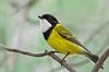 Australian Golden Whistler - Pachycephala pectoralis (m) (Wattle Park, Vic)