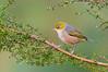 Silvereye - Zosterops lateralis (Surrey Hills, Vic)