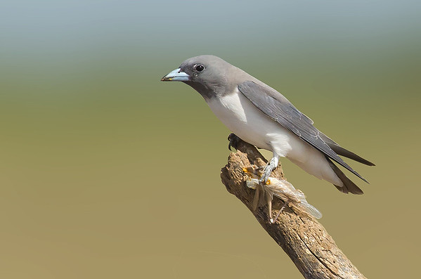White-breasted Woodswallow - Artamus leucorynchus (Gregory, Qld)