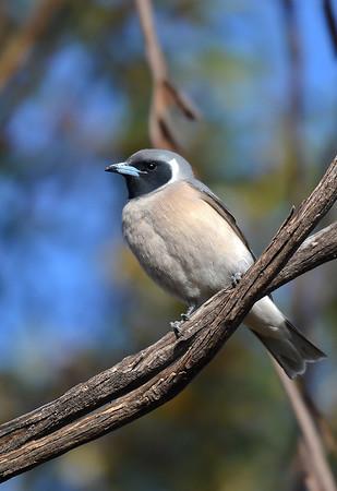 Masked Woodswallow - Artamus personatus (Goschen, Vic)