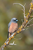 White-browed Woodswallow - Artamus superciliosus (Goschen, Vic)