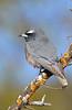 White-browed Woodswallow - Artamus superciliosus (Goschen, Vic)