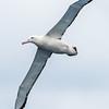 Antipodean Albatross (gibsoni)