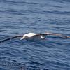 Wandering (Antipodean) Albatross
