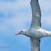 Antipodean (NZ) Albatross