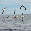 Albatrosses - Black Browed, Shy, Buller's