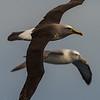 Buller's Albatross, Shy Albatross