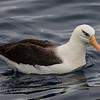 Campbell (Black-browed) Albatross