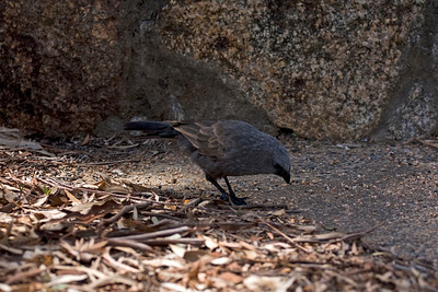 Apostlebird - took us ages to identify this bird (thought we had discovered a never seen before ever bird) - google tells me these are very common and quite tame birds