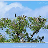 Magpie Geese, Anseranas semipalmata, and a Little Black Cormorant,  Phalacrocorax sulcirostris, roost in the trees next to White Lily Lagoon in Lakefield National Park, Cape York Peninsular, Queensland, Australia. <br /> <br /> Photographed July 2010 - © Lesley Bray Photography