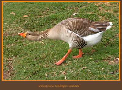 Watch your P's & Q's !!   Greylag Goose at Rockhampton Botanical Gardens, in Queensland, Australia.  Photographed August 2010 - © Lesley Bray Photography