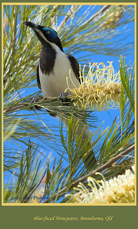 One of the many honeyeaters in the grevilleas at the homestead.  Blue-faced Honeyeater, Entomyzon cyanotis, in Grevillea tree at Boondooma Homestead, at Boondooma on the Mundubbera Durong Road, Queensland, Australia.  Photographed August 2010 - © Lesley Bray Photography
