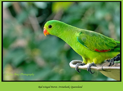 This is the female version of a red-winged parrot.  Red-winged Parrot, Aprosmictus erythropterus at Irvinebank, Queensland, Australia.  Photographed July 2010 - © Lesley Bray Photography