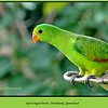 This is the female version of a red-winged parrot.<br /> <br /> Red-winged Parrot, Aprosmictus erythropterus at Irvinebank, Queensland, Australia.<br /> <br /> Photographed July 2010 - © Lesley Bray Photography