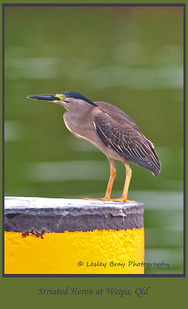 Striated Heron, Butorides stratus, at the wharf at Weipa, Cape York, Queensland, Australia.  Photographed January 2012 - © Lesley Bray Photography - All Rights Reserved