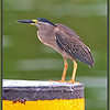 Striated Heron, <i>Butorides stratus</i>, at the wharf at Weipa, Cape York, Queensland, Australia.  Photographed January 2012 - © Lesley Bray Photography - All Rights Reserved