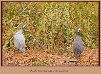 A pair of Helmeted Guinea Fowls, Numida meleagris, scampering for cover beside the road as we passed on our way to Mareeba Wetlands. Mareeba, Atherton Tableland, North Queensland, Australia.   Photographed July 2010 - © Lesley Bray Photography