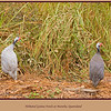A pair of Helmeted Guinea Fowls, Numida meleagris, scampering for cover beside the road as we passed on our way to Mareeba Wetlands.<br /> Mareeba, Atherton Tableland, North Queensland, Australia. <br /> <br /> Photographed July 2010 - © Lesley Bray Photography