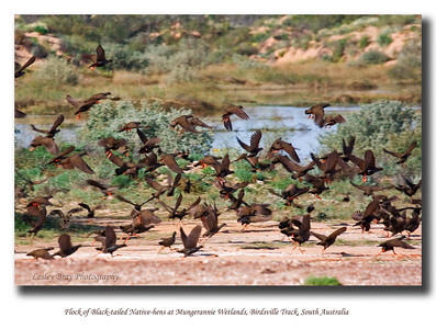 Flock of Black-tailed Native-hens taking off from Mungerannie Swamplands, on Birdsville Track in South Australia.  (Gallinula ventralis)  Photographed in September 2010