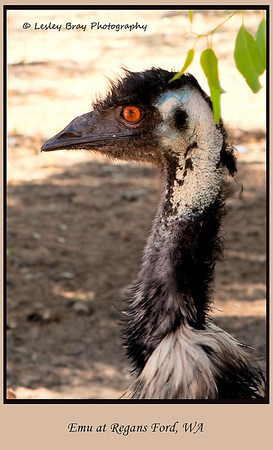 18/366 Not the most attractive bird in the universe. Emu, Dromaius novaehollandiae, at Regans Ford, Western Australia.  Photographed January 2012 - © Lesley Bray Photography - All Rights Reserved.