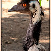 18/366 Not the most attractive bird in the universe. Emu, <i>Dromaius novaehollandiae</i>, at Regans Ford, Western Australia.  Photographed January 2012 - © Lesley Bray Photography - All Rights Reserved.