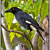 Saw this one at the Irvinebank Hotel, probably waiting for his share of the hamburger and hot chips.<br /> <br /> BTW I recommend the meals at the Irvinebank local pub !<br /> <br /> Pied Currawong, Strepera graculina, at Irvinebank on Atherton Tableland, Queensland, Australia also known at Cairns Highlands. <br /> <br /> Photographed July 2010 - © Lesley Bray Photography