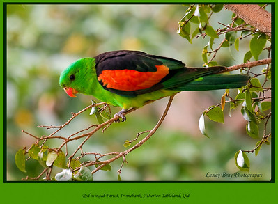 This beautiful bird was in a friends back yard, how lucky are they!  Male Red-winged Parrot, Aprosmictus erythropterus at Irvinebank, Queensland, Australia.  Photographed July 2010 - © Lesley Bray Photography