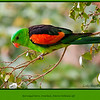 This beautiful bird was in a friends back yard, how lucky are they!<br /> <br /> Male Red-winged Parrot, Aprosmictus erythropterus at Irvinebank, Queensland, Australia.<br /> <br /> Photographed July 2010 - © Lesley Bray Photography