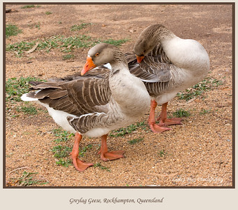 I thought they were ducks at first but apparently they are geese. Greylag Geese at Rockhampton Botanical Gardens, in Queensland, Australia.  Photographed August 2010 - © Lesley Bray Photography