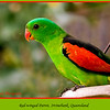How come the males are prettier than females?  <br /> <br /> Red-winged Parrot, Aprosmictus erythropterus at Irvinebank, Queensland, Australia <br /> <br /> Photographed July 2010 - © Lesley Bray Photography