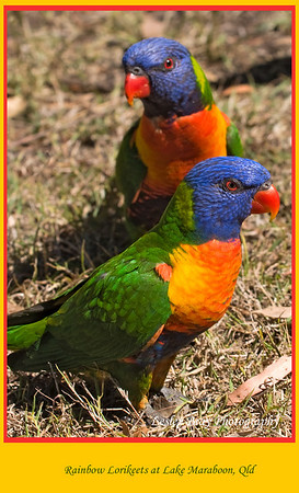 More lorikeets, these ones surrounded us at Lake Maraboon.  Rainbow Lorikeets, Trichoglossus haematodus, at Lake Maraboon, Fairbairn Dam at Emerald, Queensland, Australia.  Photographed August 2010 - © Lesley Bray Photography