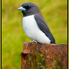 Fairly cute White-breasted Woodswallow, Artamus leucorynchus in the Goldsborough Valley, North Queensland, Australia. <br /> <br /> Photographed July 2010 - © Lesley Bray Photography