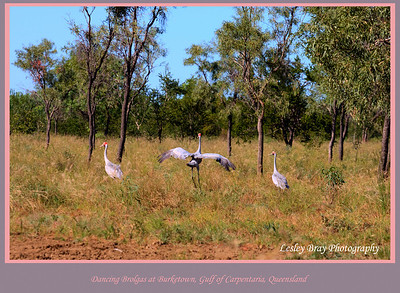 Brolgas, Grus rubicundus, in the bush near Burketown, Gulf of Carpentaria, Queensland, Australia.